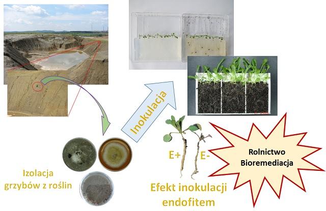 Rys. Schemat ilustrujący metodę opracowania  konsorcjów stosowanych w bioremediacji i rolnictwie. Układy te charakteryzują się zwiększoną tolerancją na działanie niekorzystnych czynników środowiskowych